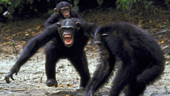 In exchange, chimpanzees beat managers